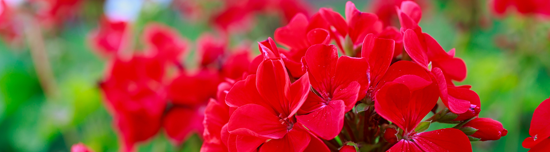 Red geraniums in a summer garden.